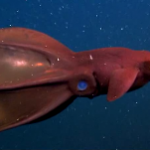 Vampyroteuthis Infernalis The Vampire squid from Hell