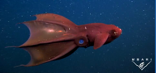 Vampyroteuthis infernalis Vampyroteuthis Infernalis The Vampire squid from Hell