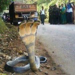 Three Head Snake Found in India