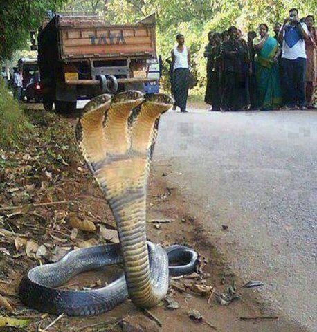 three head snake cobra