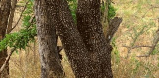 Find A Leopard in This Photo